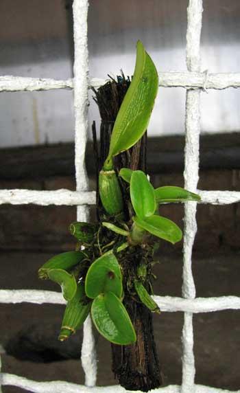 Cattleya bicolor