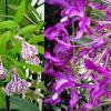 Cattleya Binosa x Schomburgkia rosea