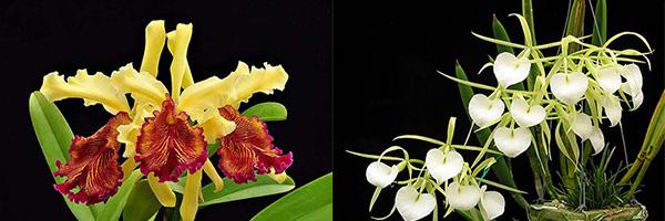 Cattleya dowiana aurea x Brassavola nodosa