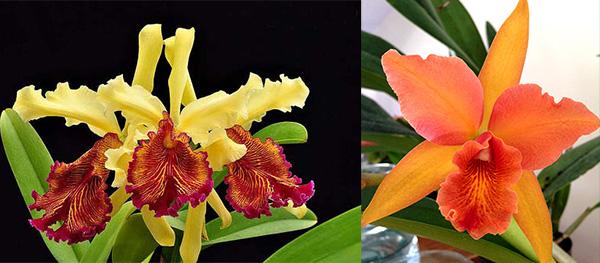 Cattleya dowiana x Brassolaeliocattleya Helen Veliz 'Gold Runner'