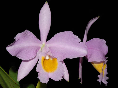 Cattleya eldorado concolor punctata 'Bela' x SELF
