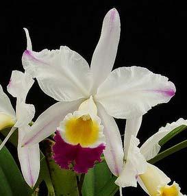 Cattleya eldorado semi alba 'Iracema' x SELF