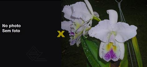 Cattleya gaskelliana coerulea (12-1) x coerulea (11-1)