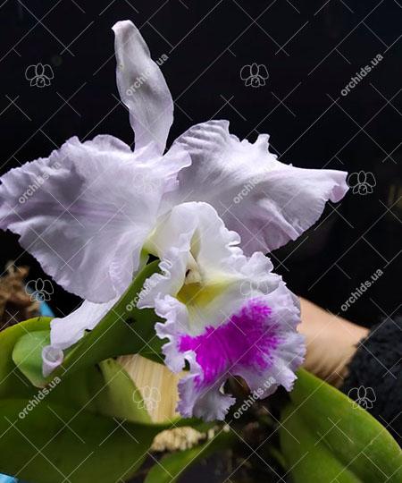 Cattleya gaskelliana (suave x semi-alba)