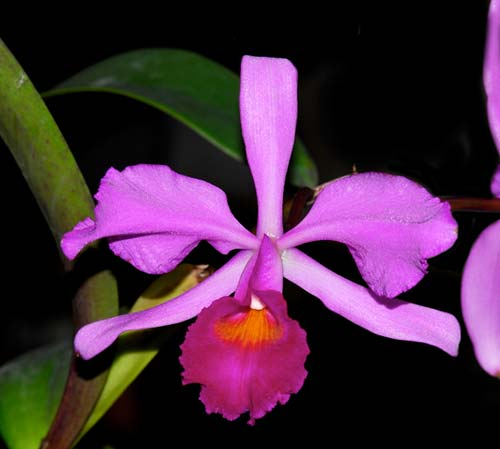 Cattleya gigas type x Cattleya violacea