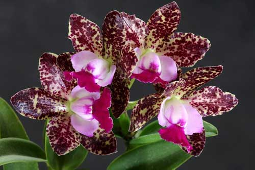 Cattleya Green Emerald 'Stack'