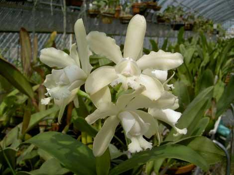 Cattleya guttata albina 'Cetro de Rubis' SELF