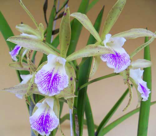 Cattleya guttata albina x Brassavola tuberculata