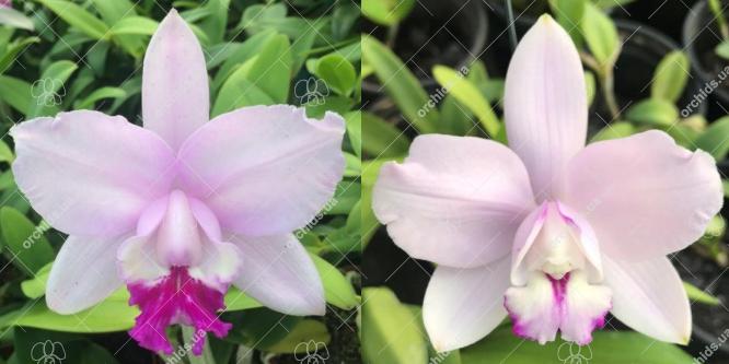 Cattleya intermedia multiforme 'Sol nascente' x multiforme 'Taturana'