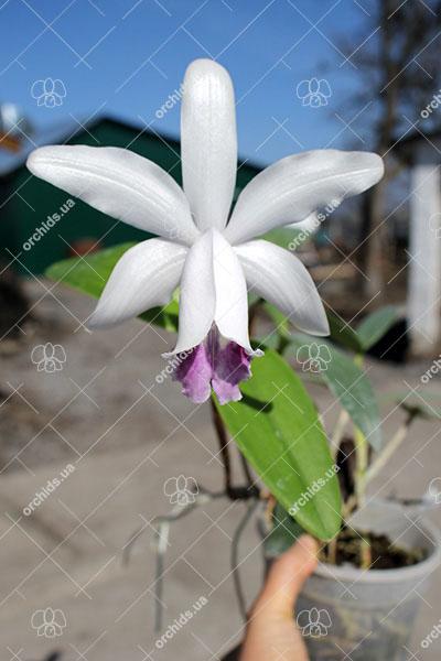 Cattleya intermedia orlata marginata coerulea 'AWZ' x Cattleya intermedia coerulea aquini flamea 'AWZ'