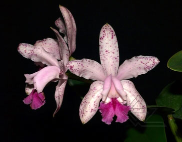 Cattleya intermedia vinho punctatissima x SELF