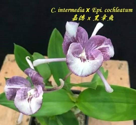 Cattleya intermedia x Epidendrum cochleatum