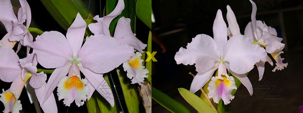 Cattleya labiata amesiana concolor 'Serra Negra' x Cattleya labiata amoena 'Preciosa' (Z-8)