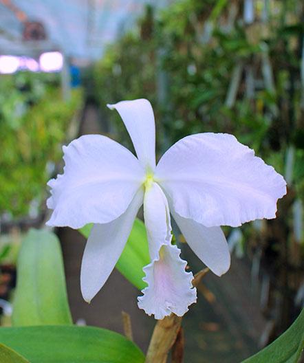 Cattleya labiata amesiana lineata 'AWZ' (Z-8) x Cattleya labiata amesiana lineata 'Pedra Azul'