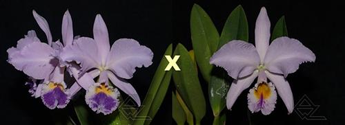 Cattleya labiata (coerulea 'Azul' x coerulescens 'Da Norma Dreher')
