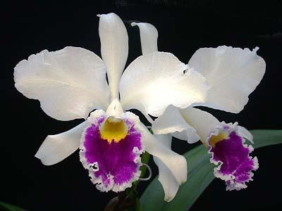 Cattleya labiata sem alba 'Marina' x Cattleya labiata semi alba sanguinea 'A. Paccione'