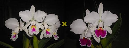 Cattleya labiata semi-alba ('Marina x perola 'Vila Velha')