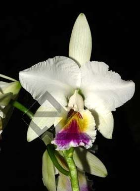 Cattleya labiata semi alba 'Perfection' (Z-12) x SELF