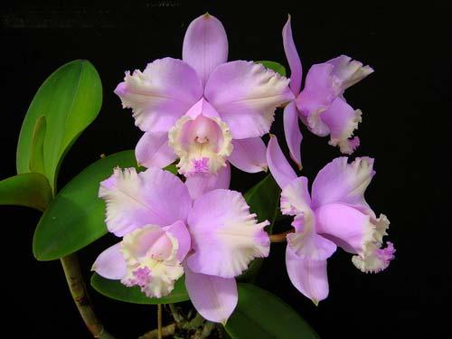Cattleya loddigesii trilabelo x self