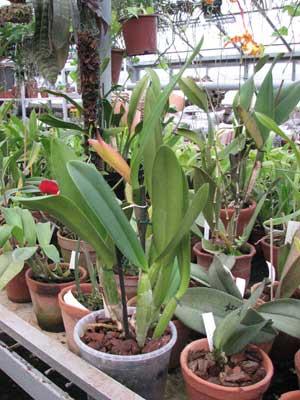 Cattleya lueddemanniana 'Jumara x Ingrid'