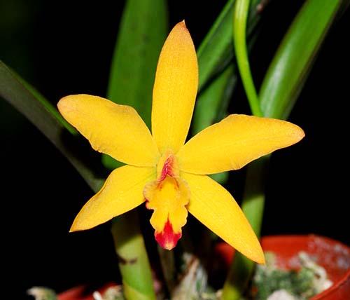 Cattleya luteola x Sophronitis coccinea Yellow