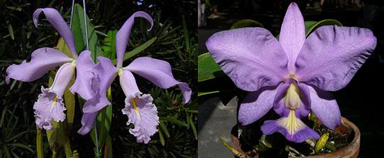 Cattleya maxima coerulea 'Hector' x nobilior coerulea 'Luar do Sertao'