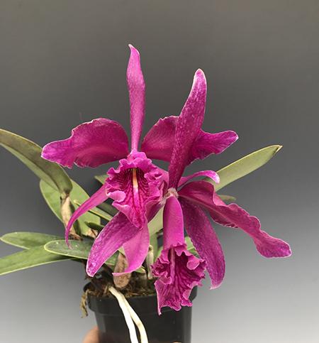 Cattleya maxima 'Natural World'