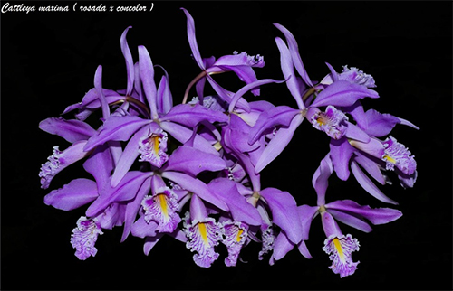 Cattleya maxima (rosada x concolor)