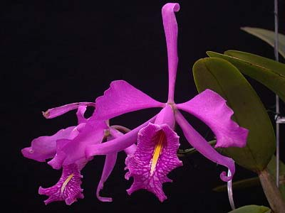 Cattleya maxima rubra 'Lojana' x SELF