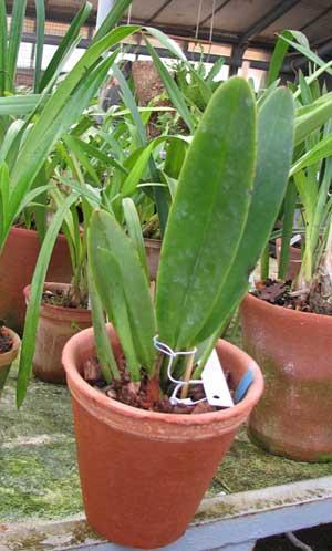 Cattleya maxima var coerulea 'Hector'