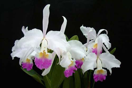 Cattleya mendelii semi-alba 'Carlos Arango' x self