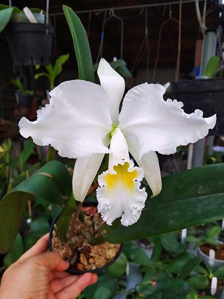 Cattleya mossiae alba 'Carpinteiro'