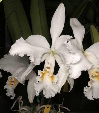 Cattleya mossiae alba 'Irene' x Cattleya mossiae alba 'Orosco'
