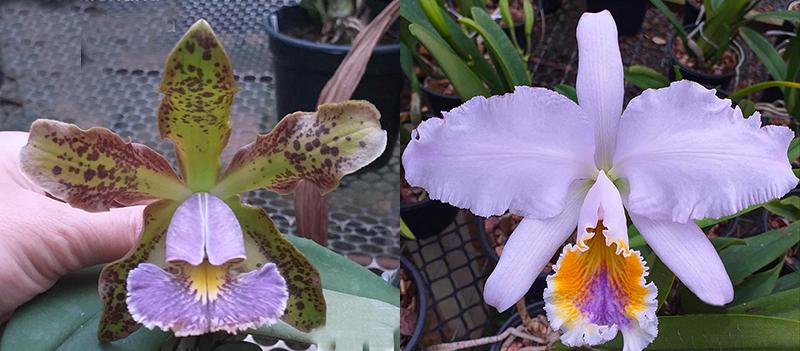 Cattleya mossiae coerulea x schilleriana coerulea (Cattleya Miss Harris coerulea)