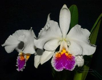 Cattleya mossiae semi alba 'Sao Luiz' x Cattleya mossiae semi alba 'Bela Vista'