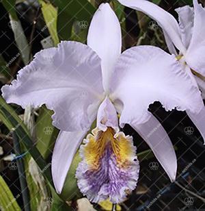 Cattleya mossiae var coerulea