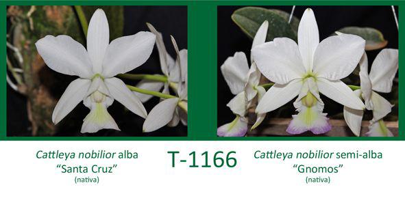 Cattleya nobilior alba 'Santa Cruz' x Cattleya nobilior semi-alba 'Gnomos'