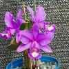 Cattleya nobilior 'Brasileirinha' x rubra 'Baton'