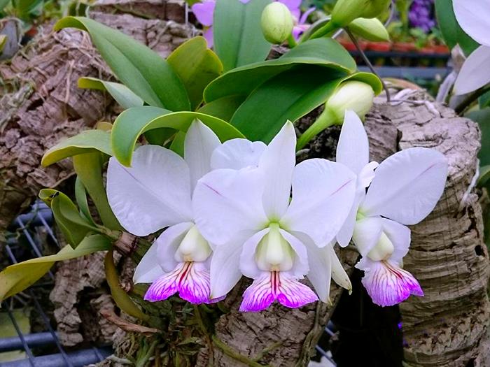 Cattleya nobilior semi-alba
