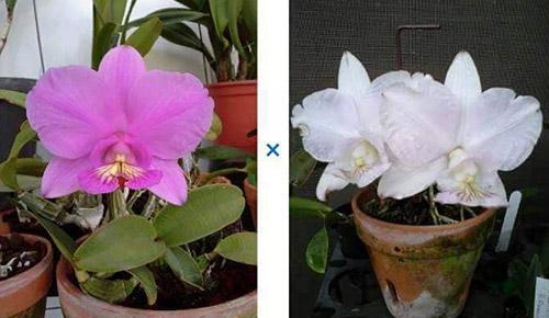 Cattleya nobilior 'Summer Rose' x nobilior amaliae 'Luma #5'