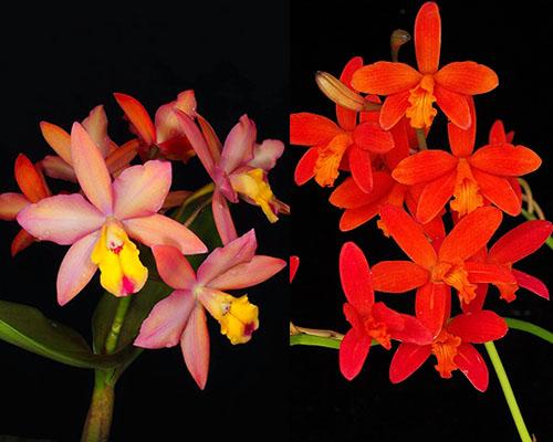 Cattleya Orchidglade x Laelia milleri