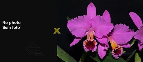 Cattleya percivaliana (Albert´s' x 'Aniel') x SIBLING