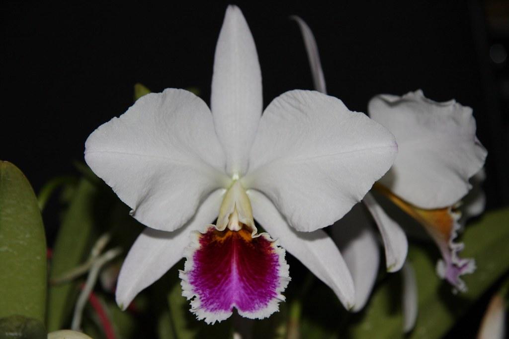 Cattleya percivaliana semi-alba 'Farah Diba'