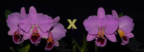Cattleya percivaliana ('Summit -Mutant' x 'Thiago')
