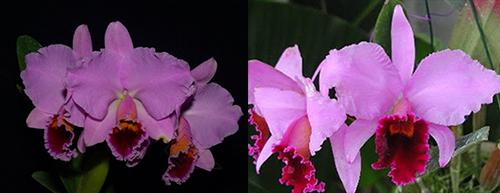 Cattleya percivaliana tipo ('Summit' x 'Centro Remolacha')