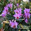 Cattleya percivalliana tipo 'Gabriela' (nativa)