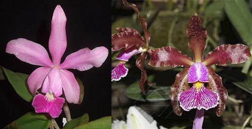 Cattleya Pittiae x Cattleya schilleriana