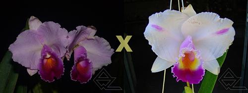 Cattleya quadricolor ('Sombrero' x flamea 'AWZ')
