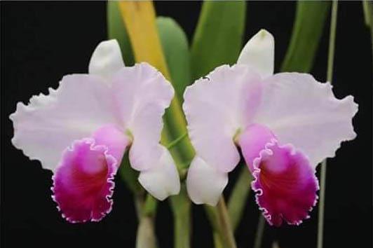Cattleya quadricolor tipo x self