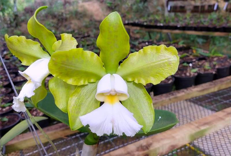 Cattleya schilleriana albescens